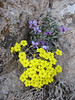 Dionysia crista-galli and Viola pachyrrhiza