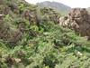 habitat of Fritillaria imperialis