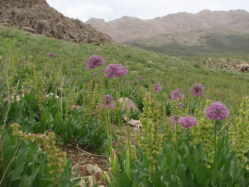 habitat of Allium stipitatum