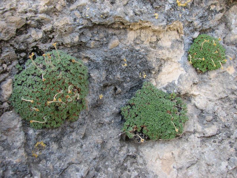 habitat of Dionysia lamingtonii