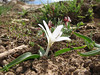 Merendera raddeana habitat ~19 km SW of Aligudarz, Lorestan prov.