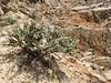 habitat of Astragalus glaucacanthos