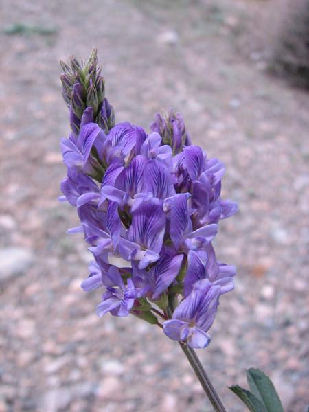Onobrychis altissima Grossh