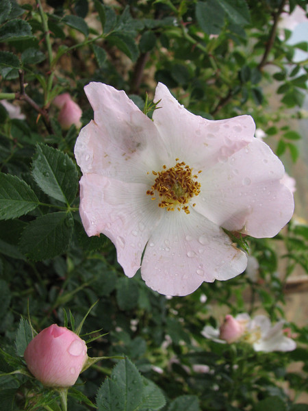 Rosa spec.