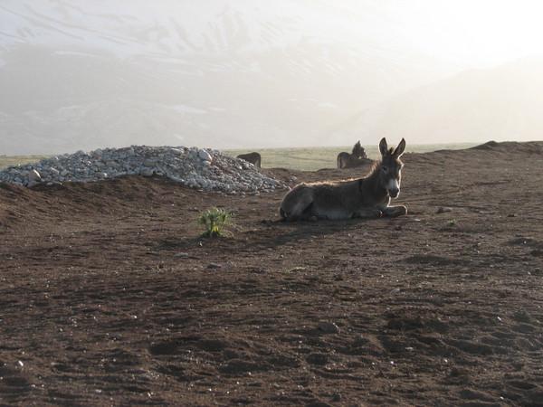 a lazy donkey (near Chelgerd)habitat Bazoft Valley,  Chaharmahal and Bakhtiari prov.
