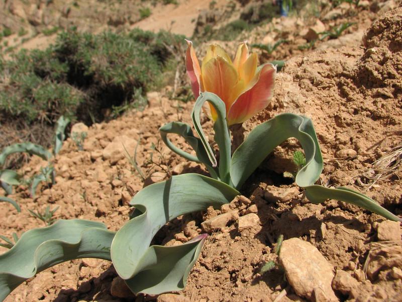 Tulipa hoogiana