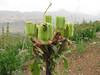 many plants of Fritillaria imperialis but...in seed habitat near Chelgerd, Chaharmahal and Bakhtiari prov.