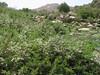 habitat of Spiraea spec