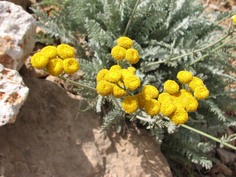 Helichrysum/Tanacetum spec