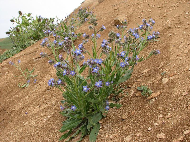 habitat of Anchusa azurea
