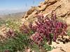 habitat Salvia hydrangea