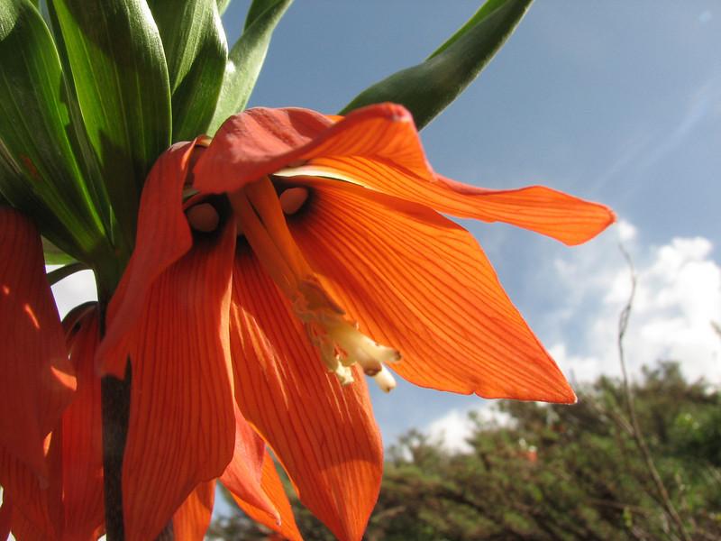 Fritillaria imperialis