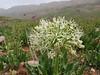 Allium stipitatum  forma Alba