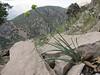 habitat of Allium scabriscapum