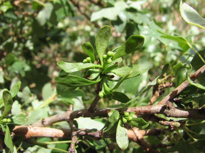 Loranthus grewinkii