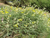 Astragalus kirrindicus