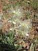 """Stachys lavandulifolia """"Alba"""" (white form)"""