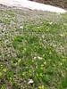 moist habitat of Gagea spec.
