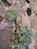 Rosularia elymaitica and Potentilla nuda