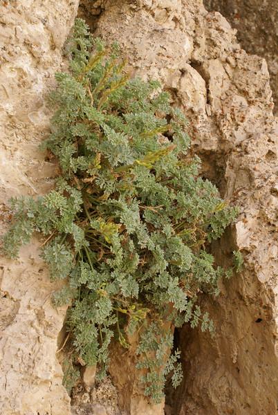 habitat of Corydalis rupestris