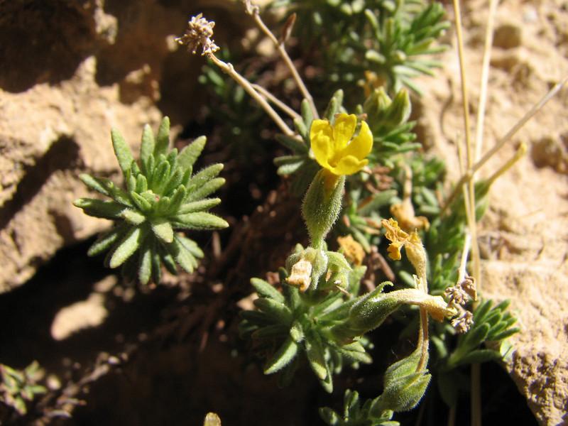 Dionysia revoluta ssp. revoluta