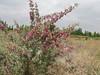 habitat of Halimodendron halodendron