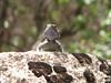 Laudakia nupta ssp. nupta
