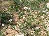 Tulipa humilis