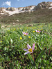 moist meadow with Tulipa humilis
