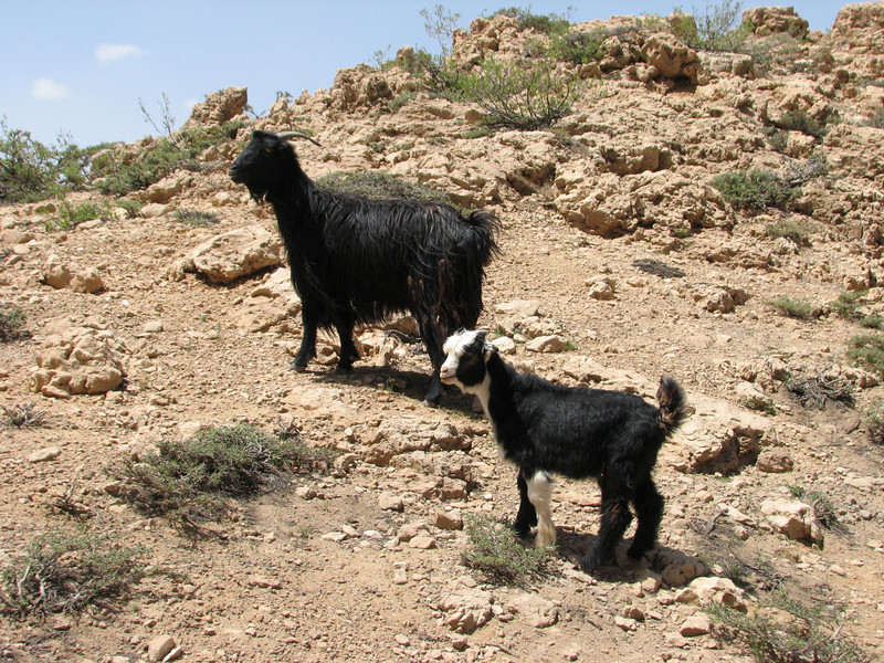goats at the Charii pass