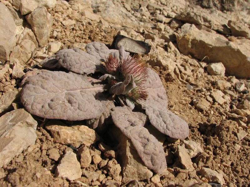 Aegopordon berardioides