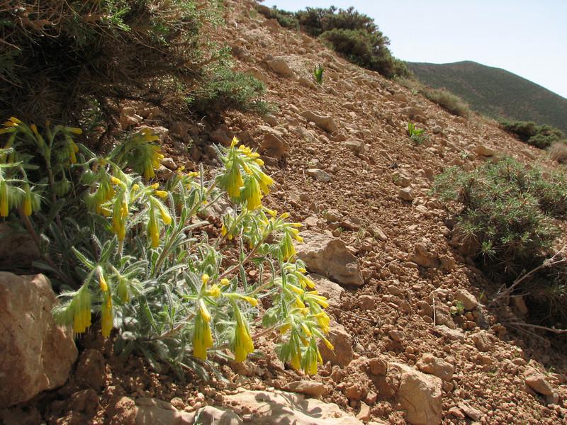 Onosma cassium