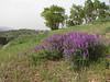 habitat of Hedysarum spec