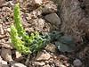 Eremostachys macrophylla