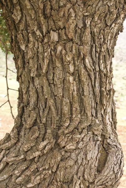 trunk of Lonicera cf. tatarica