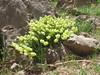 Coluteocarpus versicaria