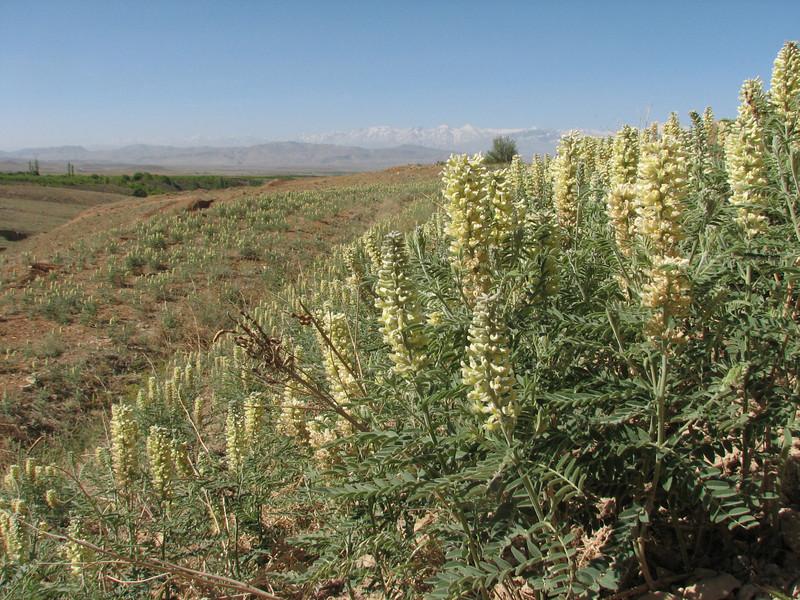 habitat Sophora alopecuroides