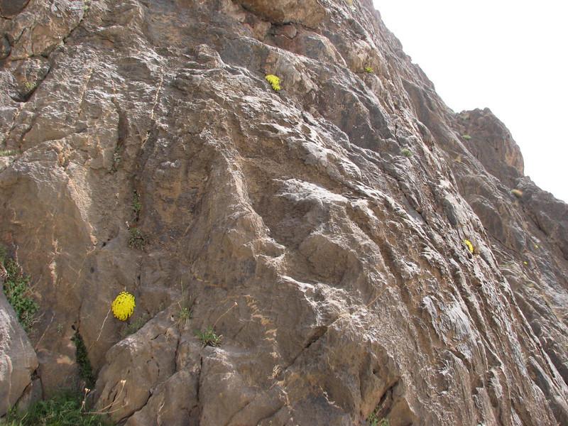 habitat of Dionysia caespitosa