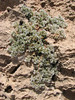 habitat of Paronychia caespitosa