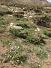 Ornithogalum oligophyllum