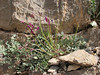 Astragalus spec