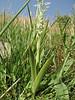 Orchis coriophora forma Alba