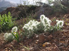 "Stachys lavandulifolia forma ""Alba"" (white form)"