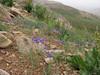 habitat with Ixiolirion tataricum