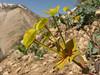 Euphorbia spec.