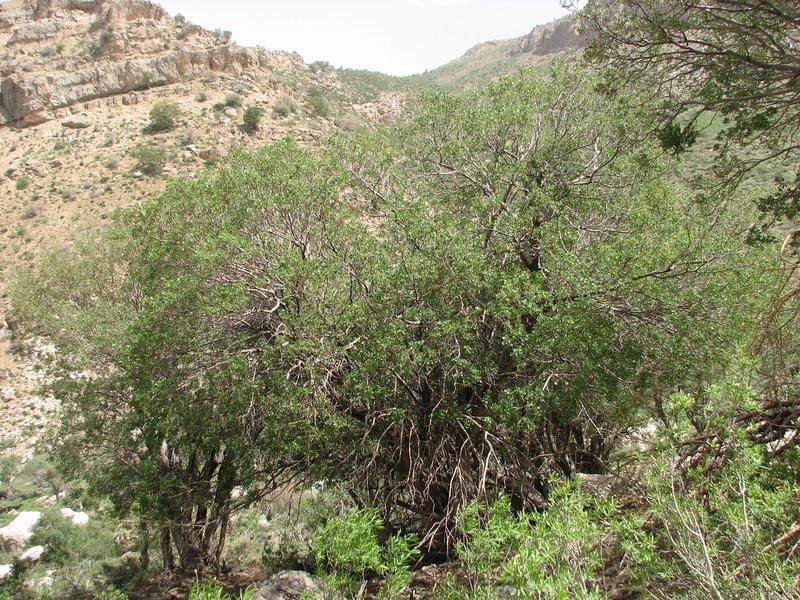 Acer monspessulanum with the parasite, Loranthus grewinkii