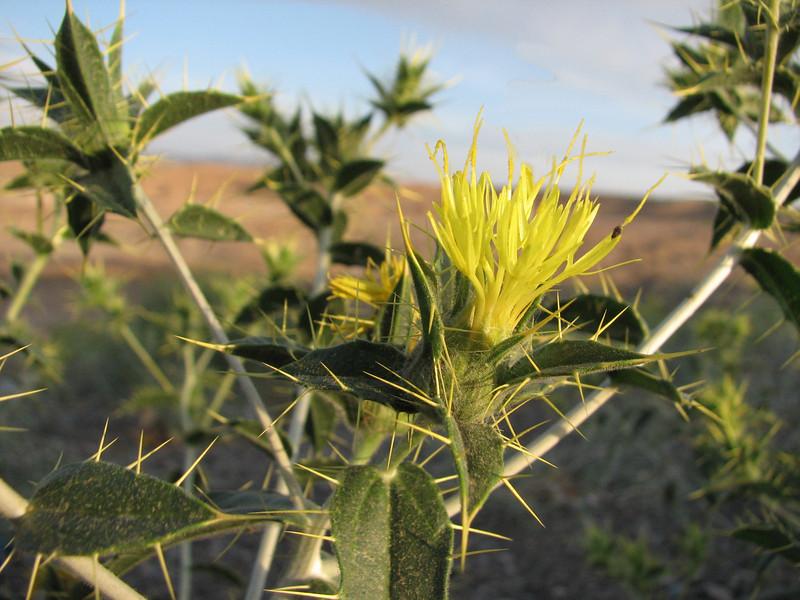 Carthamus oxyacantha