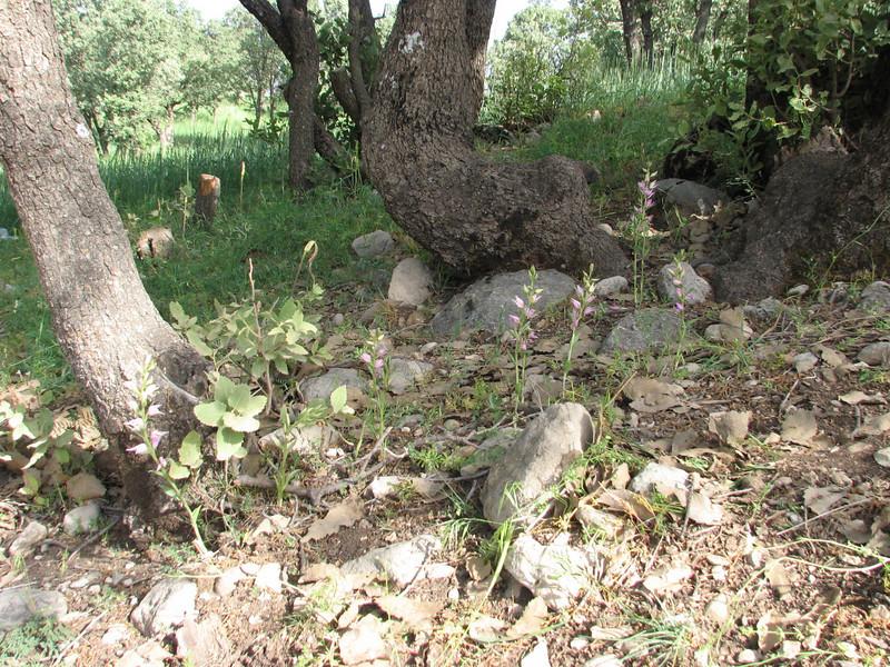 Cephalanthera kurdica