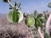 Zygophyllum cf. megacarpum