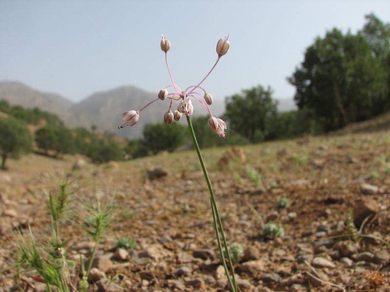 Allium cf. stamineum